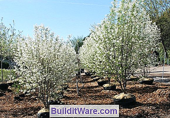 Amelanchier Canadensis - Flaumiger Serviceberry
