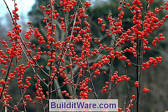 Ilex Verticillata - Michigan-Stechpalme, Winterberry