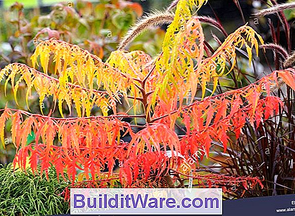 Rhus Typhina - Staghorn Sumach