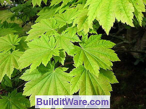Acer Japonicum - Full Moon Maple