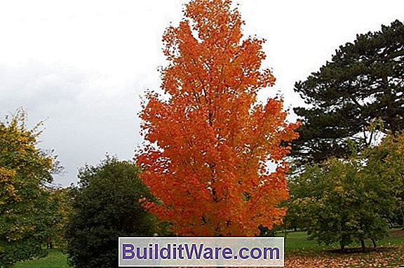 Acer Saccharum - Sugar Maple