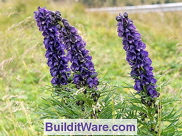 Aconitum Napellus - Monkshood, Aconite