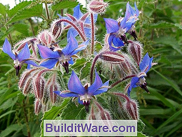 Borage (Borago Officianlis)
