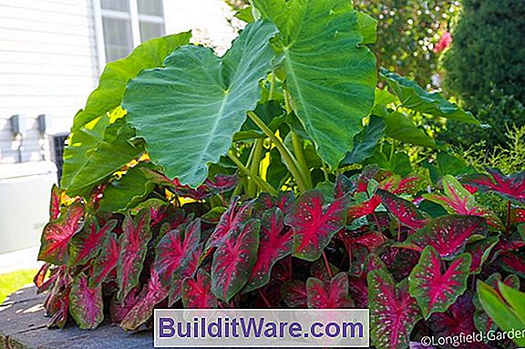 Caladium - Elephant Ears
