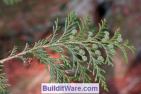 Chamaecyparis Pisifera - Sawara False Cypress