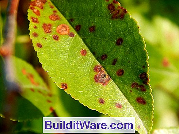 Cherry Leaf Spot Eller Shothole