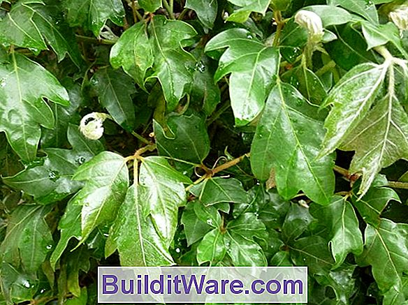 Cissus - Kangaroo Vine, Grape Ivy