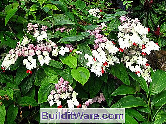 Clerodendrum Insekter