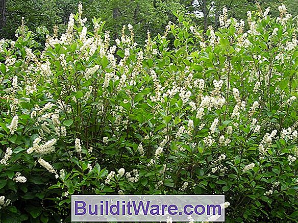 Clethra Alnifolia - Summersweet, Sweet Pepperbush