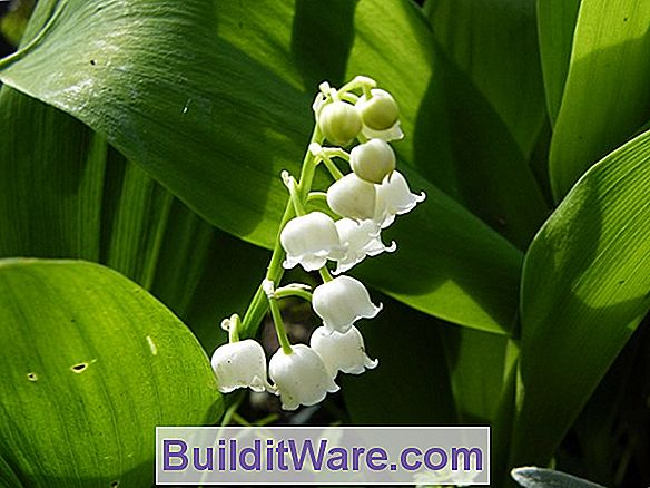 Convallaria Majalis - Lily-Of-The-Vadisi