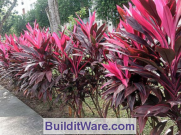 Cordyline Terminalis - Red Edge, Hawaiian Ti, Ti Plant