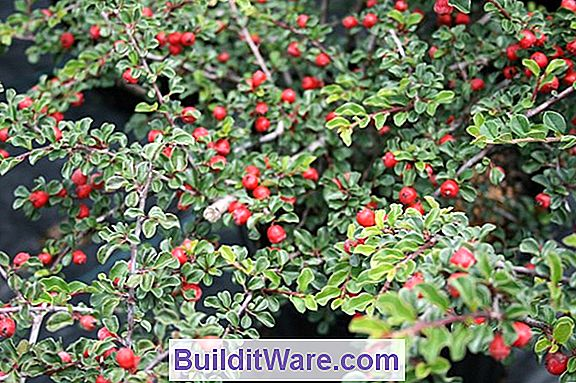 Cotoneaster Apiculata - Cranberry Cotoneaster