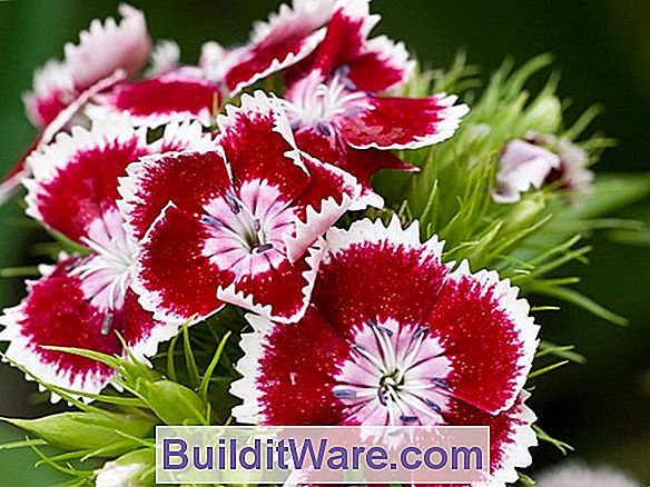 Dianthus Barbatus - Sweet William