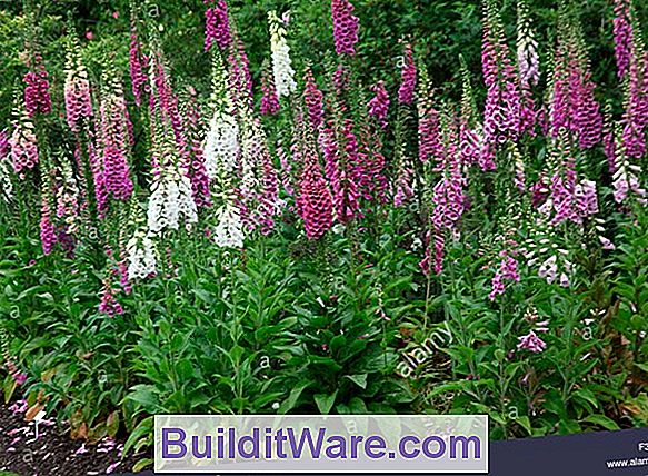 Digitalis Purpurea - Foxglove