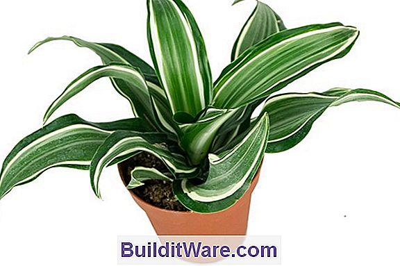 Dracena - Corn Plant, Dragon Tree, Ribbon Plant