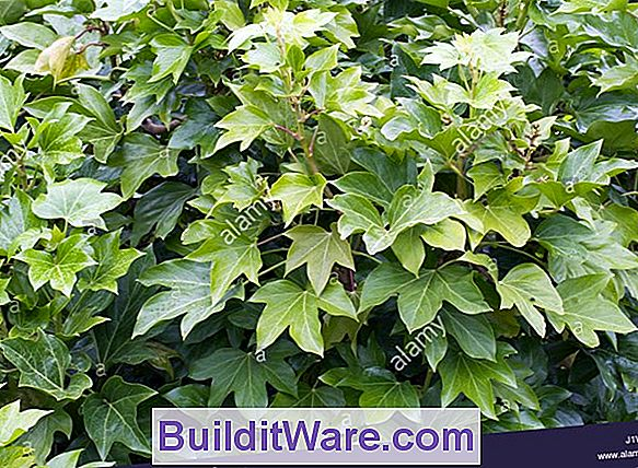 Fatshedera Lizei - Aralia Ivy, Fat Headed Lizzy, Tree Ivy