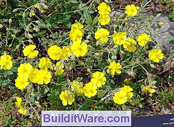 Helianthemum - Rock Rose, Sun Rose