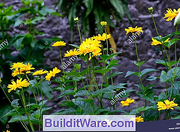 Heliopsis Scabra - Orange Solsikke, Rough Heliopsis