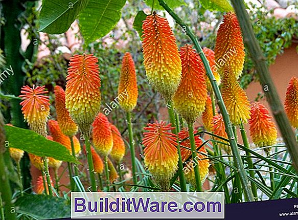 Kniphofia Uvaria - Red-Hot-Poker, Torch Lily, Poker Plant