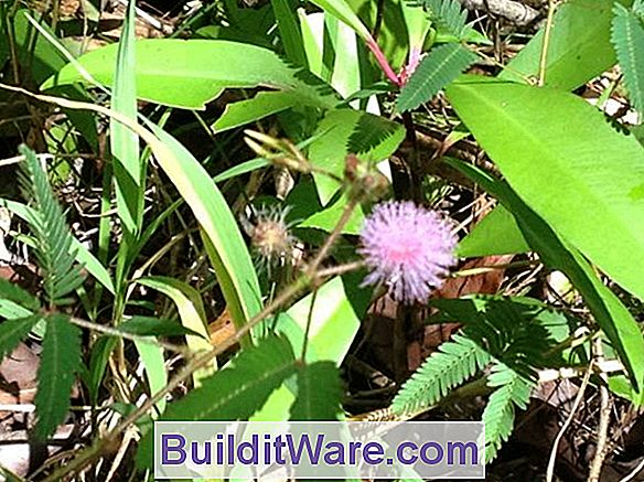 Mimosa Pudica - Sensitive Plant, Humble Plant