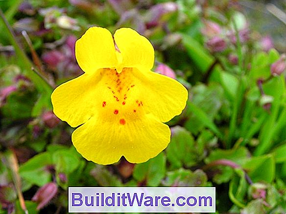 Mimulus - Monkeyflower