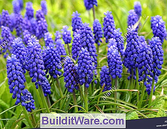 Muscari Botryoides - Grape Hyacinth