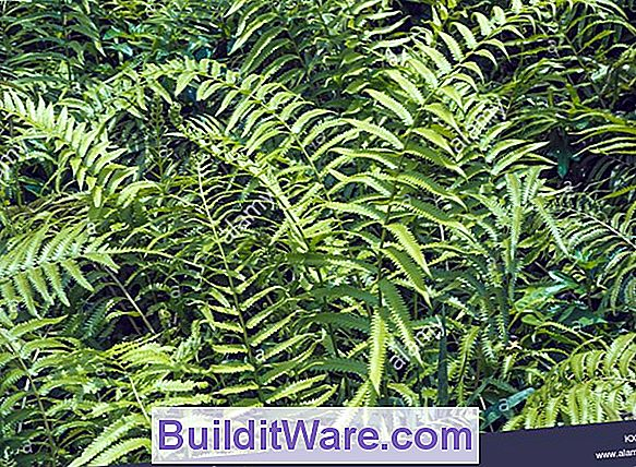 Nephrolepsis - Boston Fern, Fluffy Ruffles Fern, Sword Fern