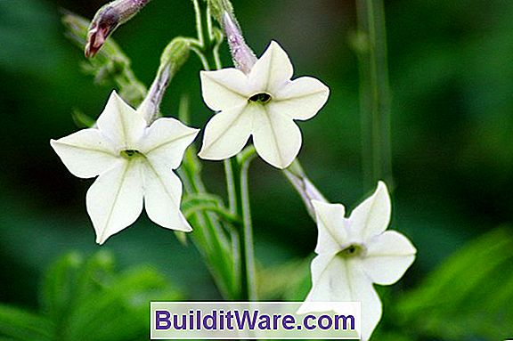Nicotiana Sygdomme