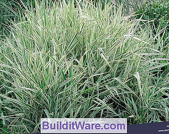 Phalaris Arundinacea Var. Picta - Ribbon Grass