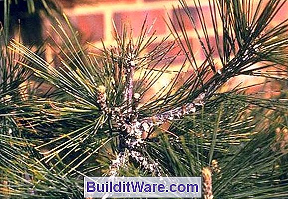Pine Bark Aphid