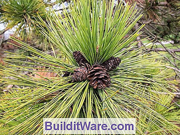 Pinus Resinosa - Red Pine, Norway Pine