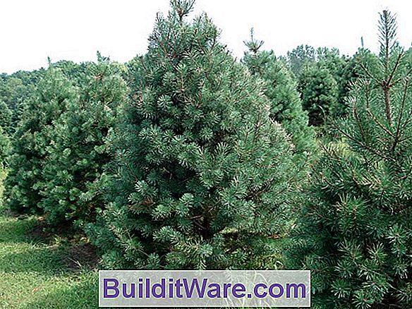 Pinus Sylvestris - Scotch Pine