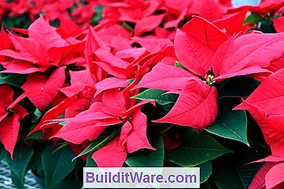 Poinsettia - Reblooming