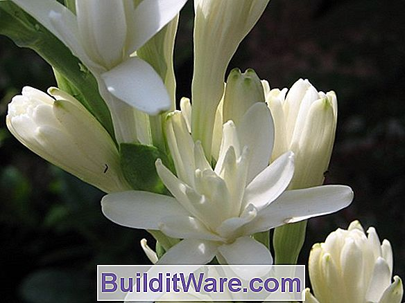 Polianthes - Tuberose
