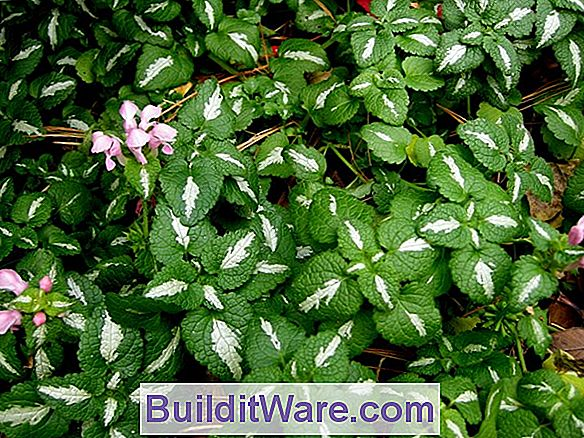 Shade Plants - Groundcovers