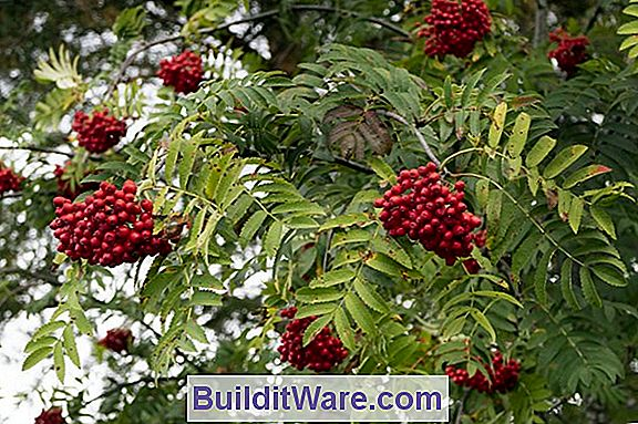 Sorbus Aucuparia - European Mountain Ash
