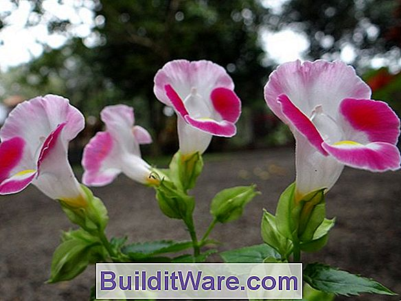 Torenia Fournieri - Wishbone Flower