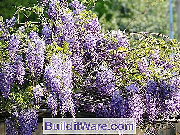 Wisteria Sygdomme