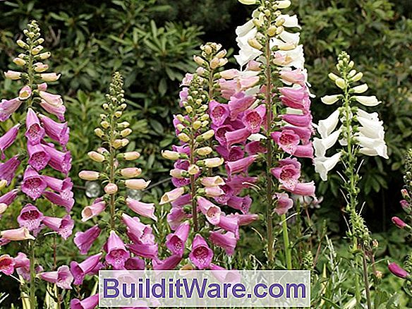 Digitalis Purpurea - Fingerhut