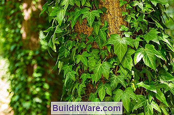 Englisch Ivy - Outdoor Care