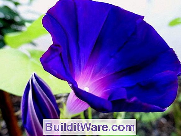 Ipomoea Purpurea - Morning Glory