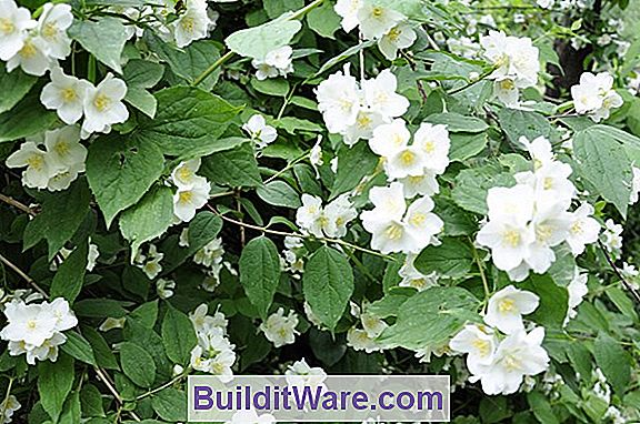 Philadelphus Coronarius - Mock Orange, Süßes Syringa