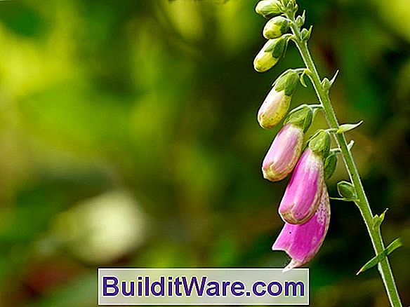 Digitalis Purpurea - Vingerhoedskruid