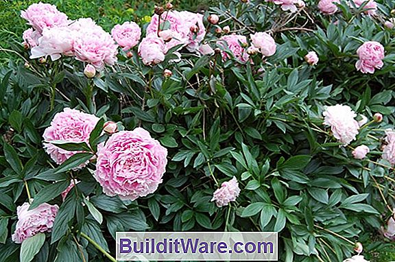 Paeonia Syddommer