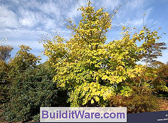 Acer Pennsylvanicum - Striped Maple, Moosewood